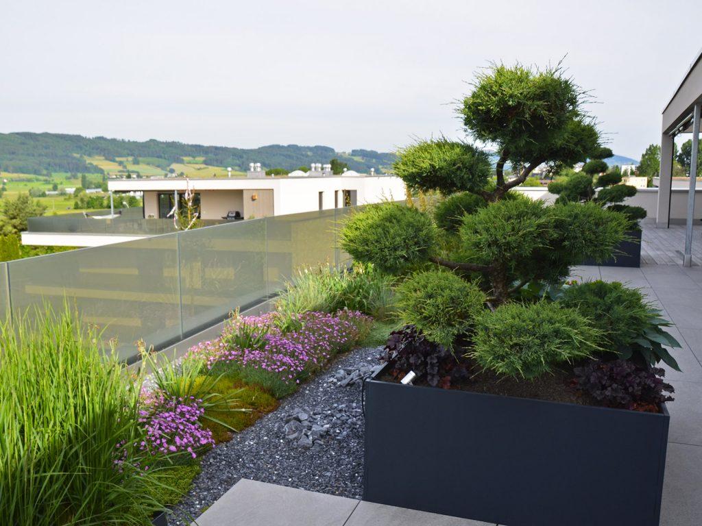 Amstutz Gartenbau AG, Dachgaerten, Pflanzen, Solitae in Kuebel